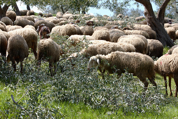 Sheep in olive grove