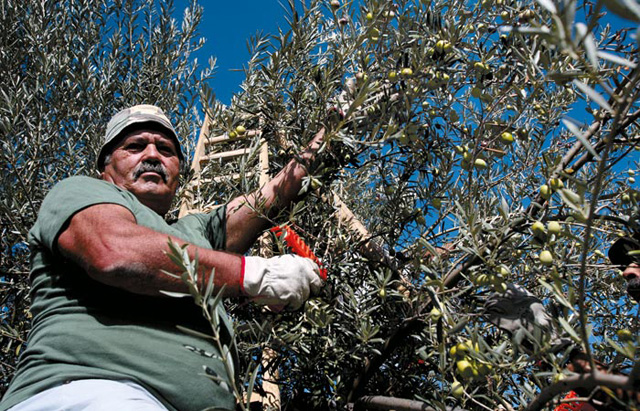 Pianogrillo Olive picker