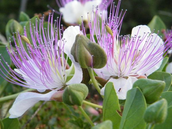 Caper's flowers