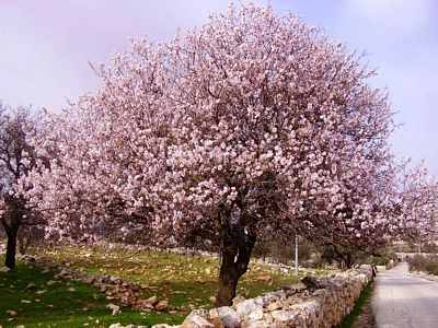 Almonds trees