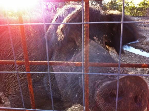 Silvio the Nebrodi pig