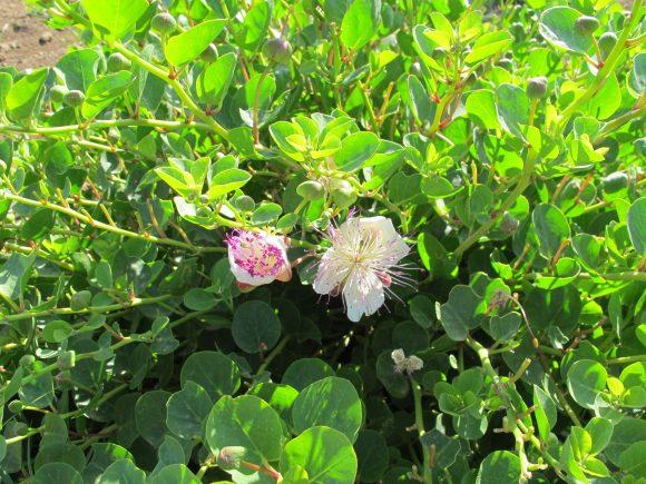 pantelleria sicily capers