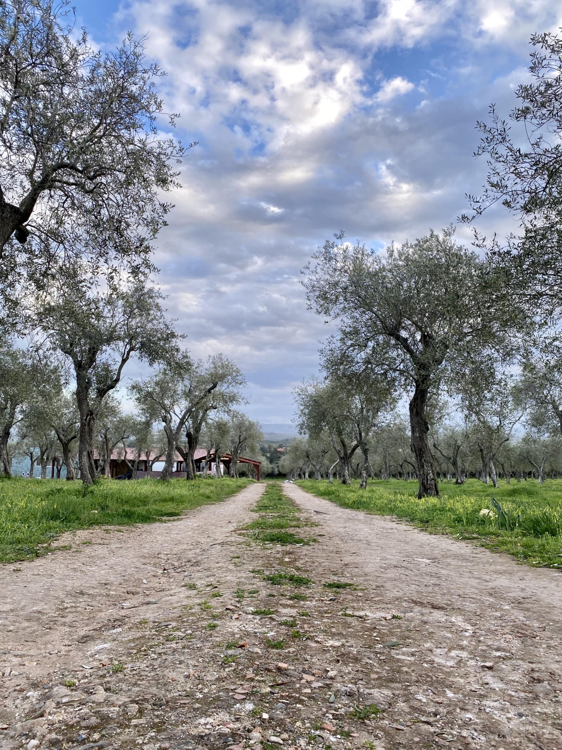 Sardegna extra virgin olive oil