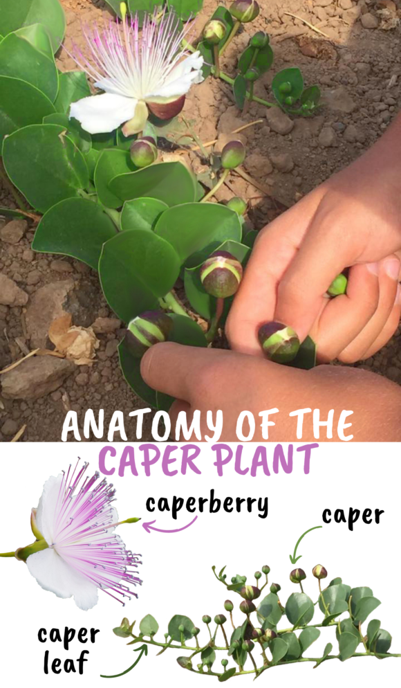 Caper plant pantelleria capers